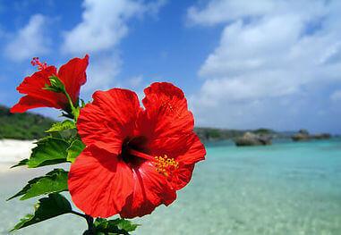 沖縄 ハイビスカス